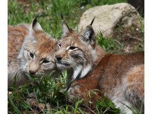The return of the Lynx to the Harz Mountains, Germany.