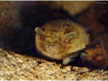 pipistrella pygmaeus_foto-Johnny de Jong