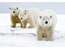 Arctic Arctic Home –kampanjalla kerätyn tuen avulla WWF voi tehostaa jääkarhujen suojelutyötä arktisella alueella.