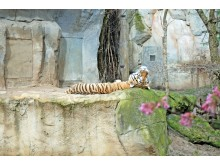Amurtiger Tomak, Vater der jungen Zwillinge, macht ein Mittagsschläfchen im Zoo Leipzig