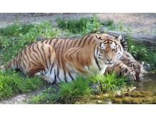Tigermutter Bella mit ihren Jungtieren