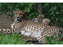 Gepardungarna ute för första gången - 2