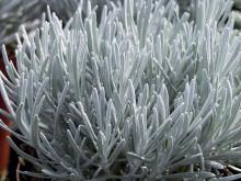 Bergeternell – Helichrysum thianschanicum 'Weisses Wunder'