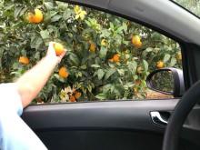 plocka apelsiner