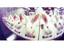 Kaniner i ögonirritationstest