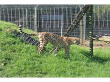 Gepard på djurshelter utanför Plettenberg Bay