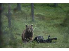 Björn i Lofsdalen