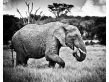 Elefanthanne