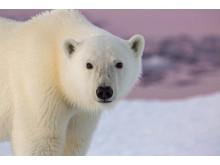 The WILD Project Icebear