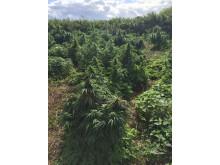 Image: The suspected cannabis farm