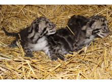 Sallsynta tigrar fodda i europeisk djurpark