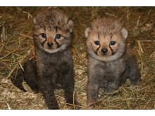 Gepardungar 080619
