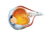 Eye and macula