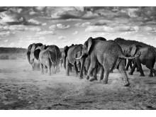 Elefanter i Samburu, Kenya