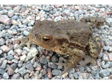 Salamanderspaning