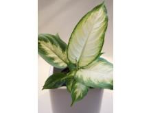 Pickblad Dieffenbachia seguine 'Camilla'