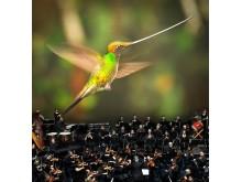 Hummingbird_Orchesta