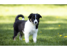 Border collie valp