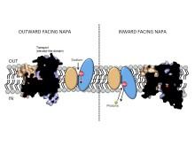 Modell av transportproteinet