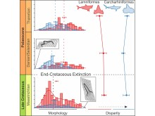 Analytical graph depicting diversity profiles of sharks across the mass extinction event.