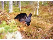 Tiur - skogsfugl