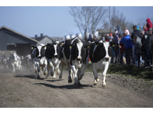 """Køerne på vej på """"opløbsstrækningen"""""""