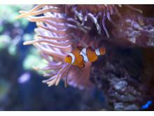Clownfisk i anemon.