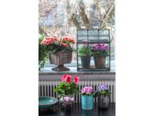 Vår på fönsterbrädan med begonia, primula, engelsk pelargon och saintpaulia.