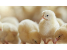 Baby-chickens---900px