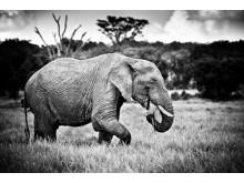 Elefanthanne i Laikipia, Kenya