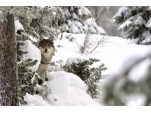 Varg Vinter