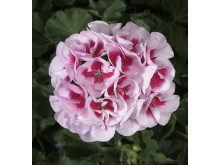 Pelargonium Zonale – Americana White Splash
