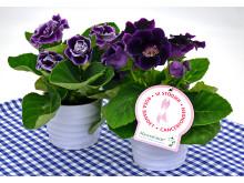 Dagens Rosa Produkt 14 oktober - en Gloxinia från Mäster Grön