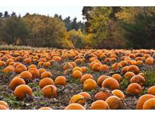 """Pumpkin patch"" i USA."