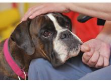 Hilda är Årets sociala tjänstehund 2016