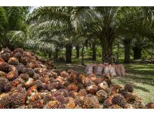Palmeolie høst