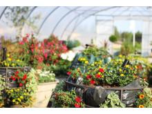 Sommarblommor i växthus