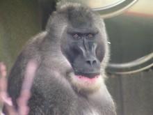 En av Afrikas mest hotade apor till Parken Zoo