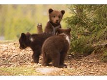 Björnungar i Orsa Rovdjurspark