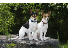 Tenterfield terrier – ny ras i Sverige