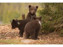 Brunbjörnsungar Orsa Rovdjurspark