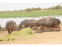 Hippos Feeding