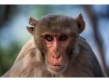 Makaker, och andra djur, har mycket svårt att hantera information som kommer i en viss ordning.