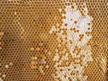 Ett bisamhälle kan producera 35 kilo honung under en säsong