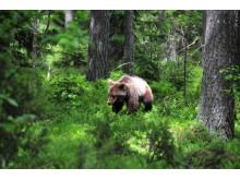 Brunbjörnsprojektet