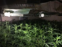 Inside the building - cannabis plants