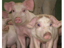 Nibble Gårdsgris - första klimatcertifierade grisarna