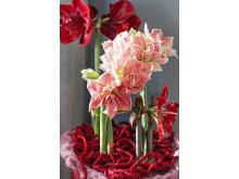 Amaryllis i rosa och röda nyanser