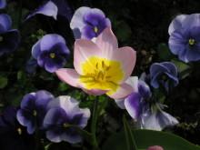 Tulipan sammen med stemor i vårkrukken