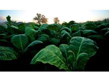 Tobakkplanter